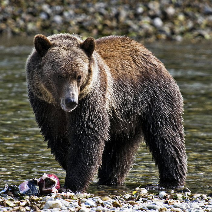 Early On The Grizzly Became A Symbol Of State Was Basis Flag And Historically California Known As Bear