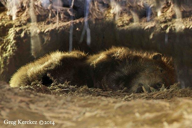 BeaverSleeping