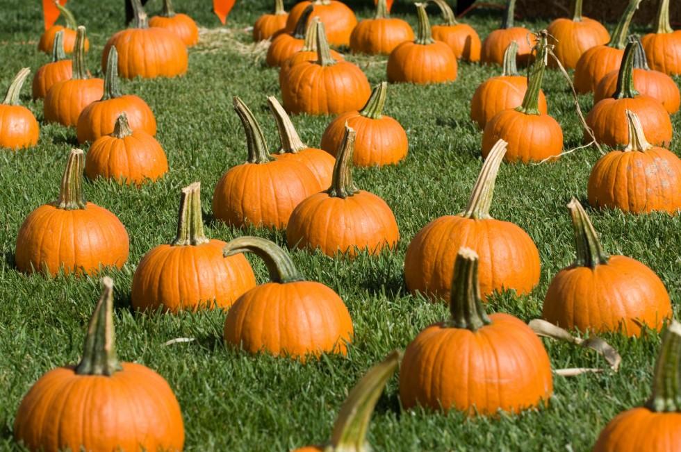 FieldOfPumpkins