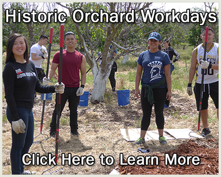 Volunteers working in the Historic Orchard