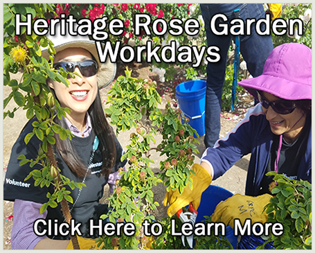 Volunteers trimming roses